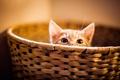 Picture cat, eyes, basket, kitty, Peeps