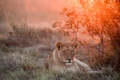 Picture sunset, lioness, wildlife