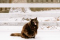 Picture winter, language, cat, cat, snow, wool, fluffy