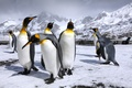 Picture snow, mountains, penguins, penguin, Royal penguins