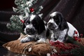 Picture puppies, tree, spot, Spaniel, pair