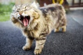 Picture cat, background, yawns