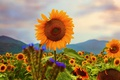 Picture Summer, Nature, Sunflowers, Field, Sunflowers, Nature, Summer