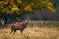 Picture deer, call, grass, horns, nature