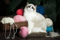 Picture cat, ragdoll, leaves, yarn, box, krasava, chest, blue eyes, balls, thread, look, cat
