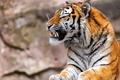 Picture fangs, predator, tiger