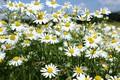 Picture summer, chamomile, field