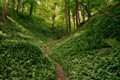 Picture forest, greens, Netherlands, path, Netherlands, trees, Limburg, Limburg, ramsons