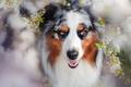 Picture dog, spring, flowering, Charlie