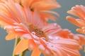 Picture drops, petals, macro, gerbera