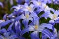 Picture Scilla, petals, Hionodoksa, macro