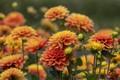 Picture buds, dahlias, petals