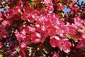 Picture tree, Spring, flowering, pink flowers