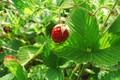 Picture berry, strawberries, macro