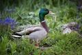 Picture nature, Drake, duck