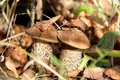Picture forest, mushrooms, disguise, boletus