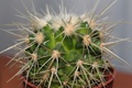 Picture flower, cactus, barb