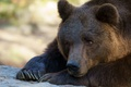 Picture paws, claws, zoo, face, brown, bear, nature, animals, lies, brown bear, bear, portrait