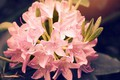 Picture flower, Beautiful, Pink, Rhododendron, Rhododendron, Flowers, Rosby