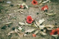 Picture flower, grass, red, petals, Bombax