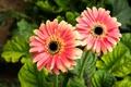 Picture gerbera, flora, flower, cameron, orange, nature, leaves, green, highland, flowers