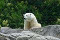 Picture photo, predator, bear, the stones pictures for your desktop, Wallpaper polar bear