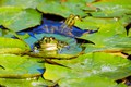 Picture leaves, water, Frog
