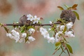 Picture cherry, background, branch, pair, flowering, flowers, rodents, Bank vole