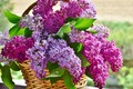 Picture flowers, bouquet, Basket, lilac