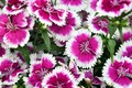 Picture flowers, pink, clove