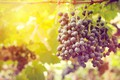 Picture leaves, nature, grapes, vineyard, brush, bunches of grapes