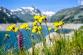 Picture flowers, mountains, lake, dandelion, meadow