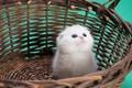 Picture small, kitty, white, basket, kitty, background, chumazik, cat