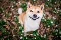 Picture language, look, face, joy, nature, smile, background, glade, portrait, dog, puppy, the expression, blurred, good, ...
