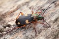 Picture beetle, beetle, insect, macro