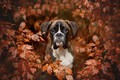 Picture autumn, look, face, leaves, branches, portrait, dog, Boxer