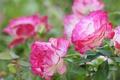Picture roses, petals, bokeh