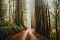 Picture Forest, Nature, Sequoia, Path, Trees