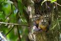 Picture tree, monkey, Peru, the primacy of, Pacaya Samiria National Park, the coat of blackheads