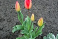 Picture tulips, flowers, spring, April