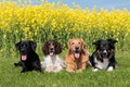 Picture greens, dogs, the sun, on the grass, lie, Labrador, four, rape, The border collie, Spaniel, ...