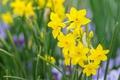 Picture spring, petals, Narcissus