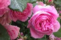 Picture drops, the rose Bush, pink roses