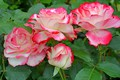 Picture leaves, macro, roses, petals, Bud