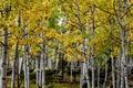 Picture USA, autumn, grove, trees, aspen, Colorado