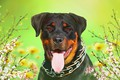 Picture background, each, Rottweiler