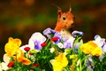 Picture flowers, protein, muzzle, red, Pansy