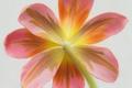 Picture flower, macro, nature, Tulip, petals, stem