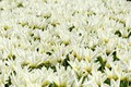 Picture tulips, Nature, spring, flowering, field, flowers