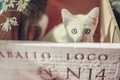 Picture look, chamomile, muzzle, kitty, box, blue eyes, white kitten